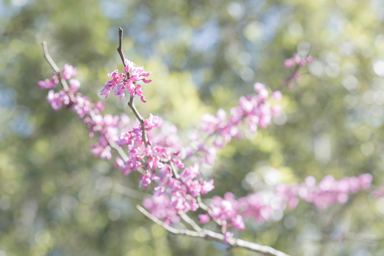 68.365.2018 Redbud in Bloom