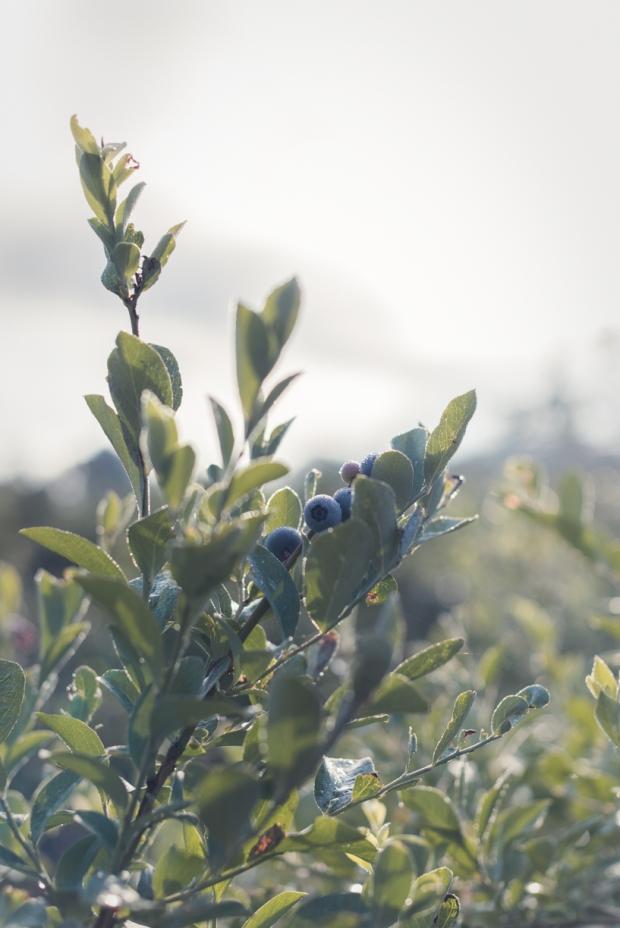 blueberry-27