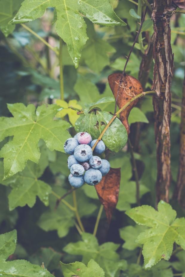 blueberry-36