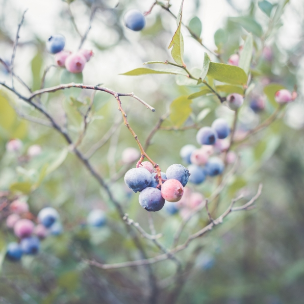 blueberry-42