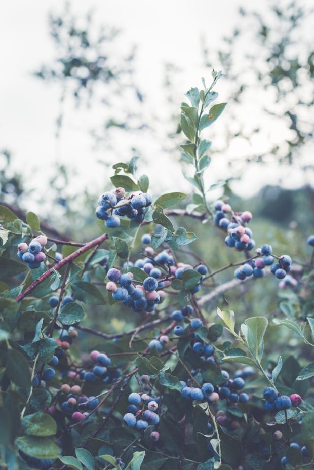 blueberry-43