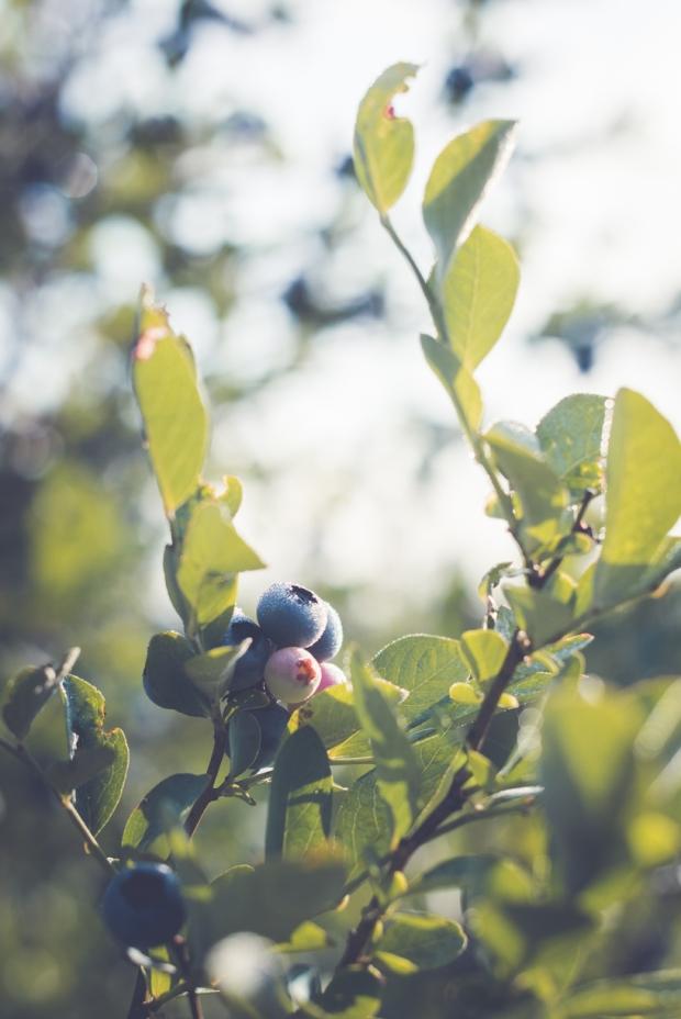 blueberry-50