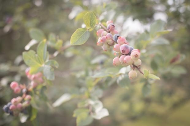 blueberry-60