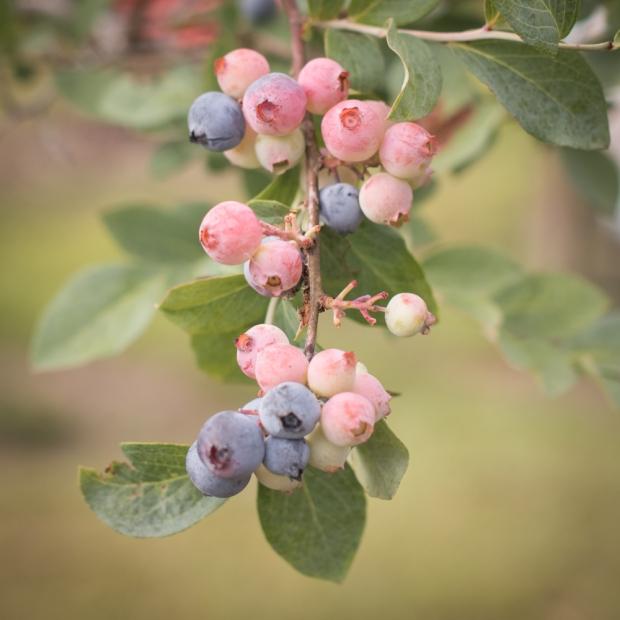 blueberry-64