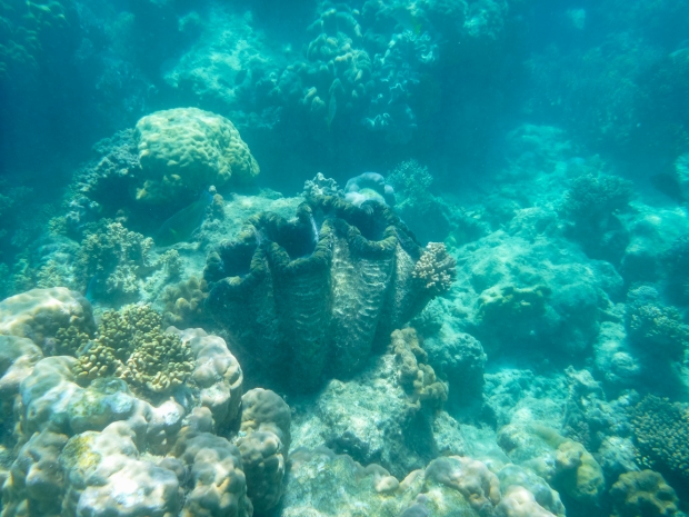 289.365.2018 Giant Clam at Michaelmas Cay, Great Barrier Reef, Cairns, Australia